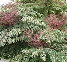 aralia elata variegata small trees plants and gardens