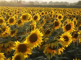 What Is Growth Movement Of A Plant Toward Light Called The Mystery Of Why Sunflowers Turn To Follow The Sun U2014 Solved