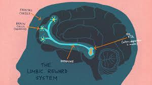 The Anatomy Of The Human Brain Anatomy Of Addiction How Heroin And Opioids Hijack The Brain