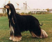 weimaraner vs afghan hound afghan hound pictures