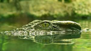 crocodile with a frog on his snout hd crocodile wallpapers 1920x1080
