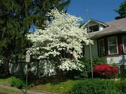dogwood white ornamental tree ornamental trees for planting