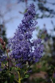 plants native to california ceanothus ray hartman mountain lilac
