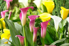 cala lillies 7 ways to garden with calla lilies american