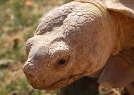 Tortoise Bedding Sulcata Tortoise Care Sheet