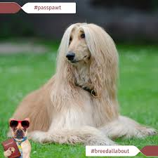 afghan hound times breed all about it dog breeds starting with a afghan hound
