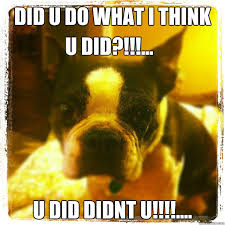 Boston Terrier Meme - did u do what i think u did didnt u u did boston