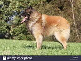 belgian sheepdog dog rescue dog belgian shepherd tervuren tervueren standard stock