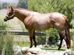 stallions american roan horse association american roan horse