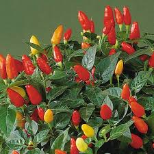 can you eat ornamental pepper ornamental pepper plant types
