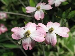 dogwood flowers flowering dogwoods