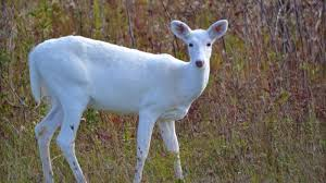 Pennsylvania wild animals images White deer understanding a common animal of uncommon color cool jpg