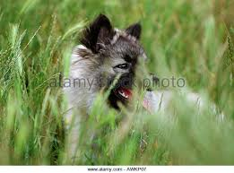 belgian sheepdog pups belgian sheepdog stock photos u0026 belgian sheepdog stock images alamy