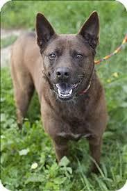 australian shepherd rescue california georgia australian shepherd rescue u2015 adoptions u2015 rescueme org