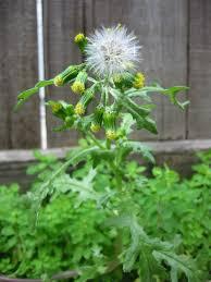 manitoba native plants senecio vulgaris wikipedia