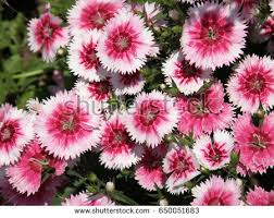 Sweet William Flowers Sweet William Stock Images Royalty Free Images U0026 Vectors