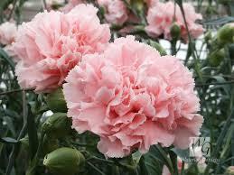 amazon com 50 la france pink carnation dianthus caryophyllus