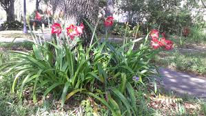 native florida plants low maintenance amaryllis the tropical bulb grown outdoors in florida