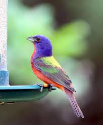 frequently asked questions painted bunting observer team