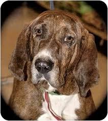 bluetick coonhound in michigan chester adopted dog howell mi plott hound treeing walker