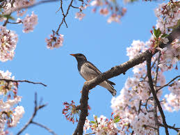 the bird on cherry blossoms tree 2 takbyer hd flickr