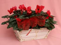want blooms inside during wny winter get a cyclamen buffalo