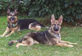 belgian sheepdog vs belgian shepherd belgian malinois vs german shepherd which dog makes the perfect pet