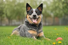 35 best medium sized dog breeds list of popular cute medium