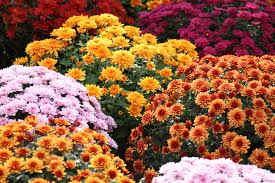 flowers of the month the meaning of the chrysanthemum flower eastern floral