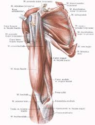 Anatomy Of Human Back Muscles 83 Best Muscle Anatomy Images On Pinterest Muscle Anatomy Human