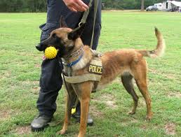 belgian malinois police k 9 unit southern pines nc official website
