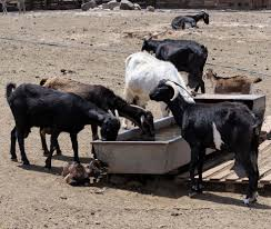goat farming project report for 100 does and 4 bucks before
