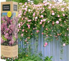 Shrub With Fragrant Purple Flowers - 1 fragrant climbing bush rose bare rooted plant shrub red purple