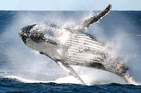 Whale Whale Watching Eden Eden