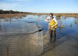 msu scientists study ducks in the delta mississippi state