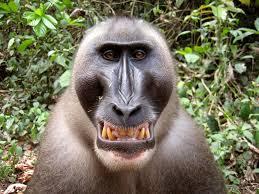 drill monkeys facts