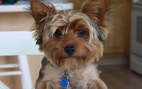 boxer dog vomiting after eating dog vomiting after eating fat or grease dog u0027s upset stomach