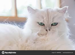 gatti persiani bianchi gatti persiani bianchi â foto stock â rukawajung 135089596