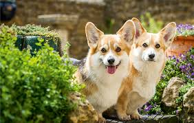 7 fabulous facts about the queen u0027s corgis country life