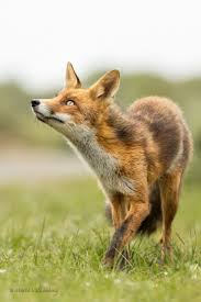 best 25 red fox ideas on pinterest fox foxes and fox pictures