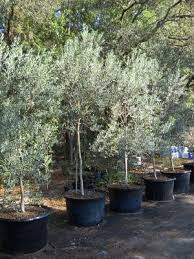 olive tree growers buy olive trees order olive trees
