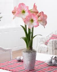 amaryllis flower amaryllis bulbs anxious for sprout in closet hgtv