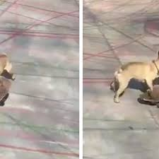 this french bulldog is the coolest of all skateboarding dogs