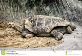 aldabra giant tortoise aldabrachelys gigantea endangered anim