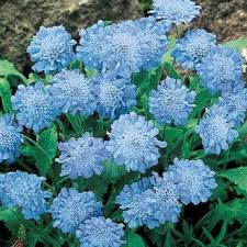 Late Blooming Perennials Best 25 Blue Flowering Shrubs Ideas On Pinterest Blue Plants