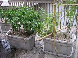 Container Gardening Peas - container gardening tomatoes and peppers home outdoor decoration