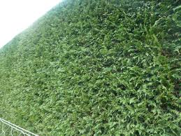 hedging plants budget wholesale nursery newly clipped leylandii hedge plants available from www