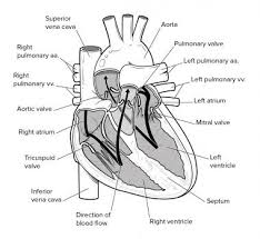 cardiovascular system anatomy overview gross anatomy natural