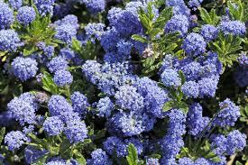 plants native to california california lilac growing where to plant california lilac in the