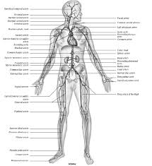 Anatomy And Physiology Exercise 10 Review Sheet Exercise 31 Conduction System Of The Heart And
